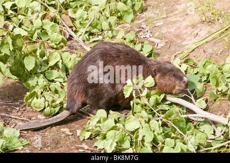 North American beaver, Castor canadensis, Minnesota, USA - Stock Photo