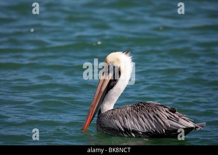 Brown Pelican (Pelecanus occidentalis occidentalis), adult in winter, Bonaire Netherlands Antilles. - Stock Photo