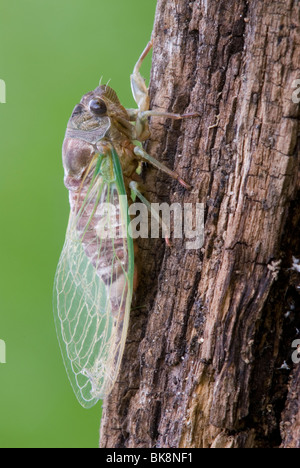 Cicada Dogday Harvestfly Tibicen canicularis after emerging from nymphal skin Eastern USA, by Skip Moody/Dembinsky - Stock Photo