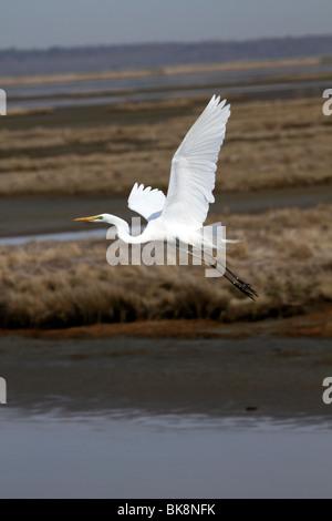 Great Egret, Ardea alba, flying over a saltmarsh. Edwin B. Forsythe Wildlife Refuge, New Jersey, USA - Stock Photo