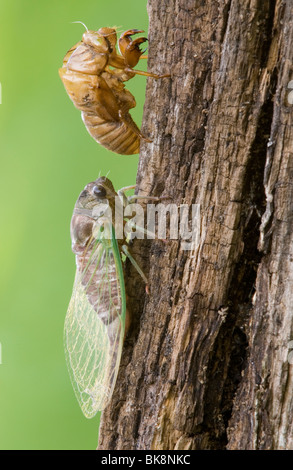 Adult Cicada Dogday Harvestfly (Tibicen canicularis) just emerged from nymphal skin Eastern USA, by Skip Moody/Dembinsky - Stock Photo
