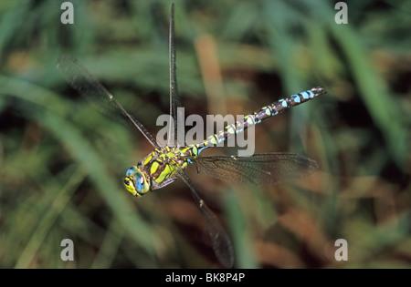 Southern hawker (Aeshna cyanea), flying male - Stock Photo
