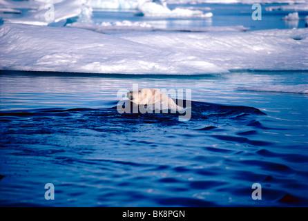 Polar Bear, Ursus Maritimus, in Cumberland Sound, Baffin Island, Nunavut, Canada - Stock Photo
