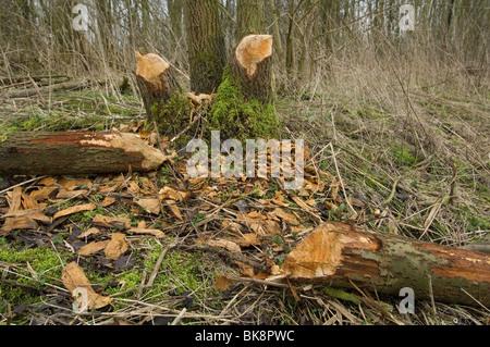 European beaver tracks in landscape - Stock Photo