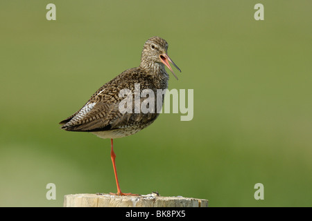 Redshank adult summer plumage in sideview standing on pole while calling - Stock Photo