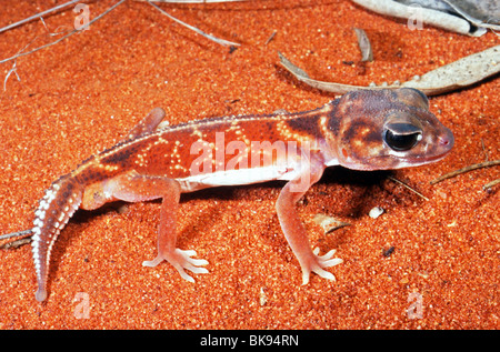 Smooth knob-tailed gecko (Nephrurus levis), Western Australia - Stock Photo