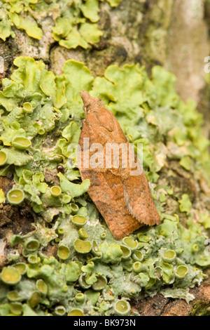 A Dark Fruit-tree Tortrix (Pandemis heparana) resting on a lichen covered branch. - Stock Photo