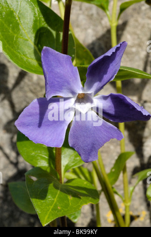 Greater Periwinkle - Stock Photo