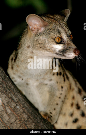 Large spotted genet in tree - Botswana - Stock Photo