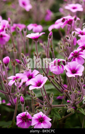 Madeira cranesbill, Geranium maderense in flower inside the Mediterranean Biome at The Eden Project in Cornwall - Stock Photo