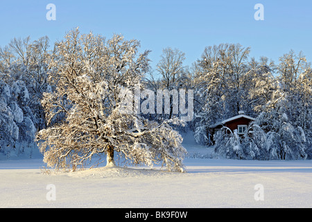 Low sun shines on a large tree standing in a snowy field. A red cottage in the forest in the background. - Stock Photo