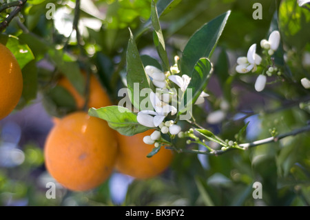 orange blossom on orange tree with fruit in background - Stock Photo