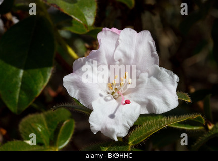 Flowering flowers of Rhododendron Ciliatum at Dundee Botanical Garden, Tayside, Scotland, UK - Stock Photo