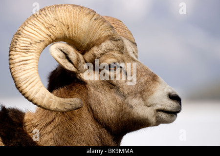 A  portrait of a young Rocky Mountain Sheep. - Stock Photo