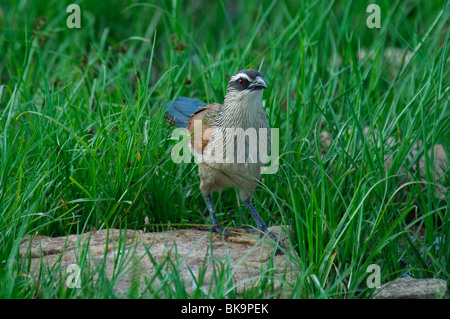White-browed Coucal Centropus superciliosus - Stock Photo