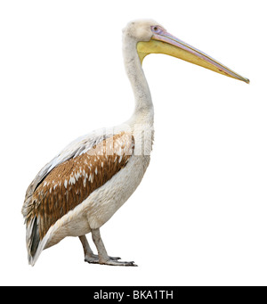 Pelican bird side view isolated on white background - Stock Photo