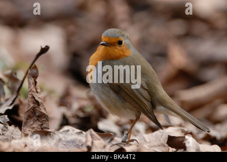 Robin between the dead leaves - Stock Photo