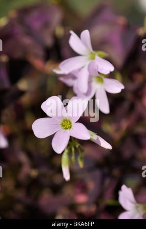 Threeleaf purple shamrock (Oxalis triangularis) - Stock Photo