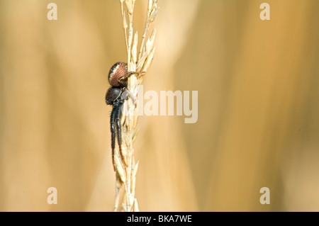 Money spider or Common hammock-weaver two grasshalms clamping together - Stock Photo