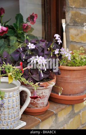Threeleaf purple shamrock (Oxalis triangularis). Design: Jutta Wahren - Stock Photo