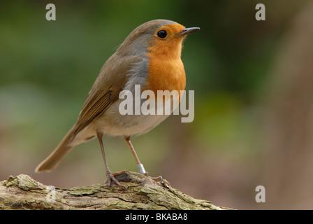 Robin on branch - Stock Photo