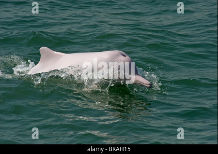 Pink dolphin swimming in Hong Kong waters is thought to be a sub-species of Chinese white dolphin, Sousa chinensis. - Stock Photo