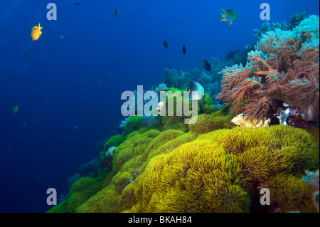 reef Malapascua manifold versatile multiplex life on reef fish starfish sea urchin under water underwater dive diver - Stock Photo
