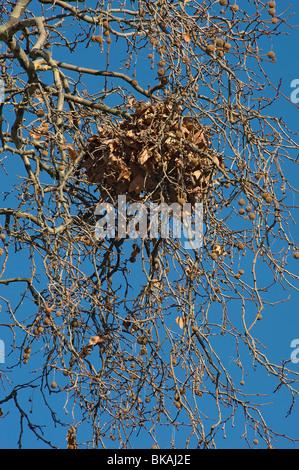 Grey squirrel summer nest or drey in plane tree in winter