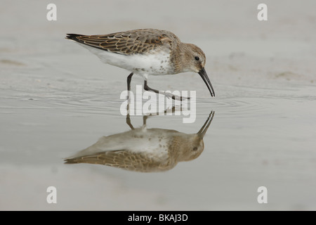 Young Dunlins on the mudflats of the Waddensea - Stock Photo