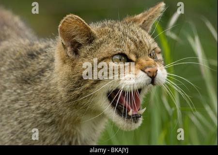 Wild cat Felis silvestris snarling - Stock Photo