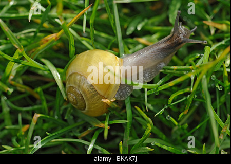 Snail, Cepaea hortensis, crawling at dawn over lawn with water drops extruded from grass - Stock Photo