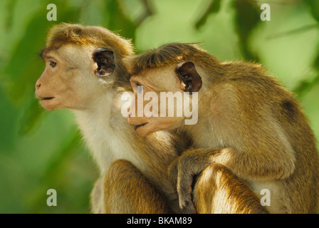 A pair of young Toque Macaques (Macaca sinica) in Yala West National Park, Sri Lanka - Stock Photo