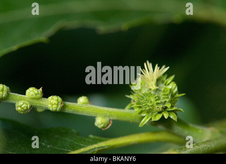 Female flower of sweet chestnut, Castanea sativa, with multiple stigmas - Stock Photo