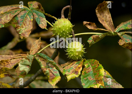 Horsechestnut leaf miner damage to horse chestnut leaves - Stock Photo