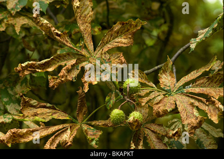 Horsechestnut leaf miner damage to horse chestnut leaves - Stock Photo
