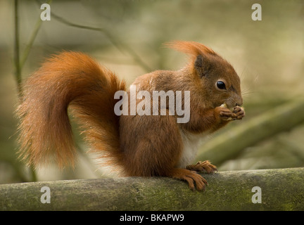 Red squirrel feeding - Stock Photo