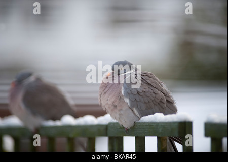 Wood pigeon, Columba palumbus, on snow covered lattice fence with feathers bunched against cold - Stock Photo