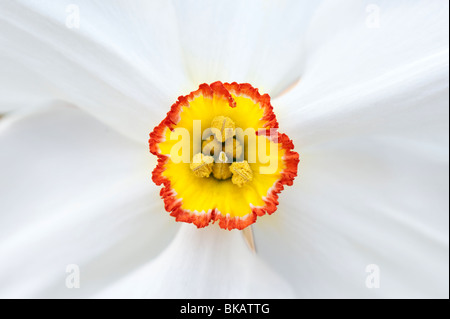 Narcissus actaea. Narcissus poeticus. Pheasant Eye daffodil - Stock Photo
