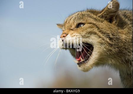 Scottish wild cat, Felis silvestris, snarling with ears flattened. - Stock Photo