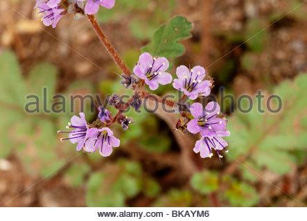 Scorpionweed wild heliotrope Phacelia 'New Mexico' - Stock Photo