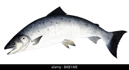 Leaping Atlantic Salmon (Salmo salar), drawing. - Stock Photo