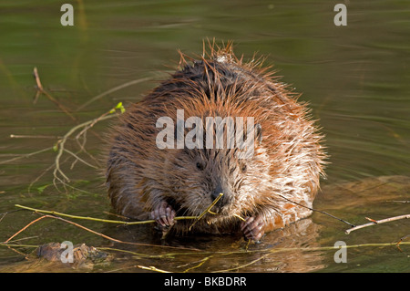 American Beaver (Castor canadensis) gnawing on a twig. - Stock Photo