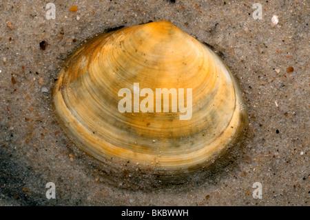 Peppery Furrow Clam, Peppery Furrow Shell (Scrobicularia plana) on sand. - Stock Photo