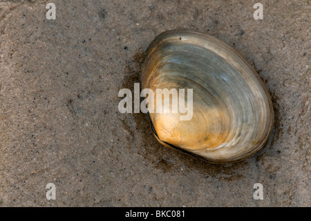 Peppery Furrow Clam, Peppery Furrow Shell (Scrobicularia plana) on sand. - Stock Photo