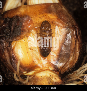 Large narcissus fly (Merodon equestris) larva and Narcissus bulb - Stock Photo