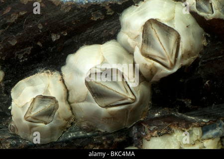 Australian barnacle (Elminius modestus) on a mussel shell.