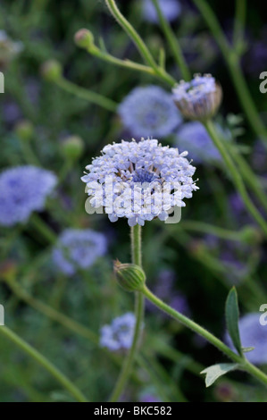 Blue lace flower (Trachymene coerulea syn. Didiscus caeruleus) - Stock Photo