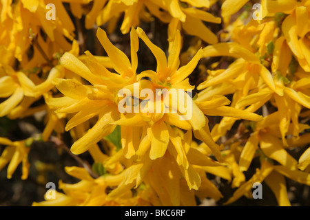 Forsythia x intermedia shrub in flower (spring) - Stock Photo