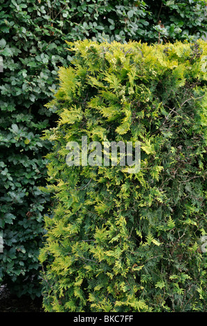 Eastern arborvitae (Thuja occidentalis 'Sunkist') - Stock Photo