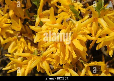Forsythia shrub in flower (spring) - Stock Photo